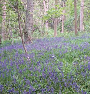 Bluebells at Forge Valley